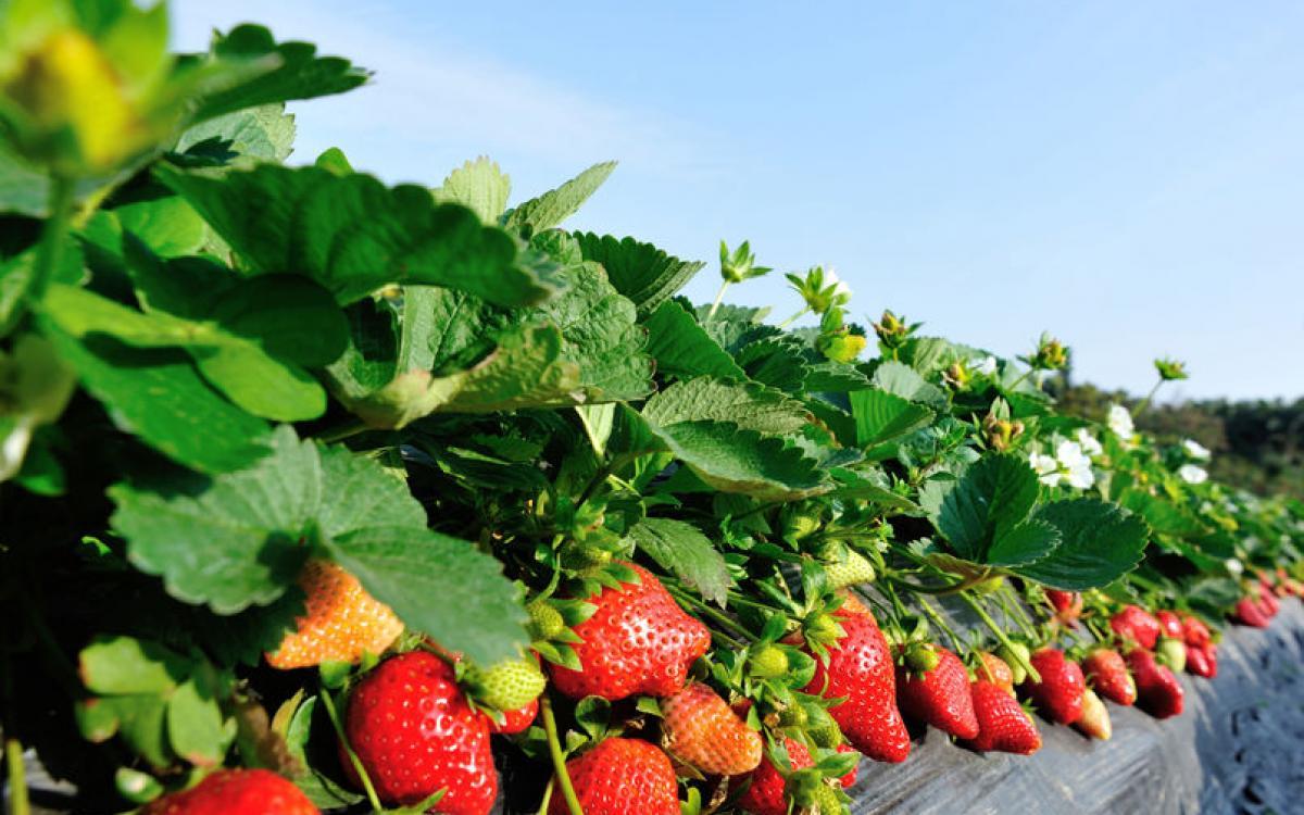 culture fraises