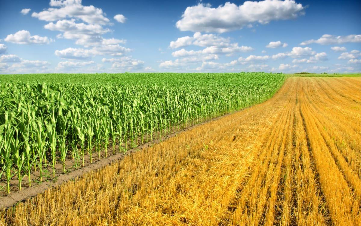 champ de céréale